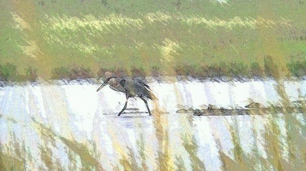 heronwalking